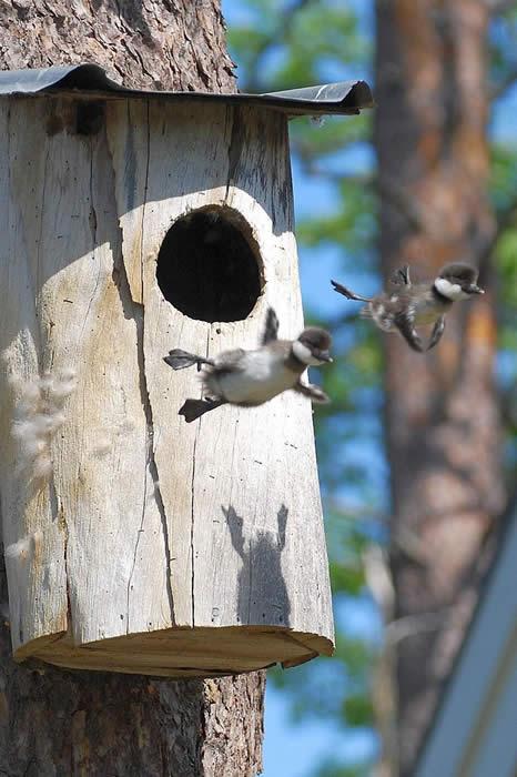 http://twistedsifter.com/2013/04/baby-ducks-first-flight-leaving-nest/